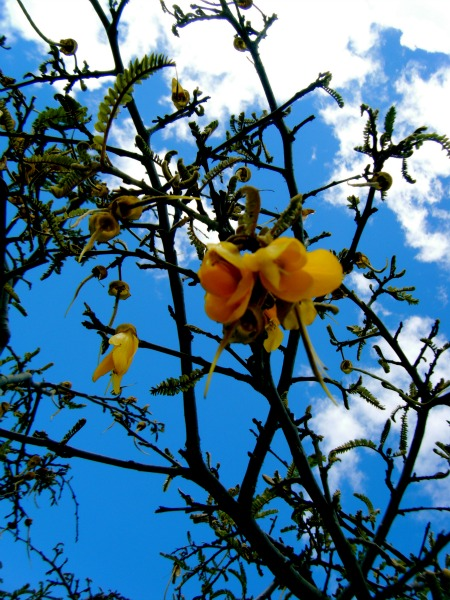 Kowhai tree in blossom - these are quite common on Rotorua walks