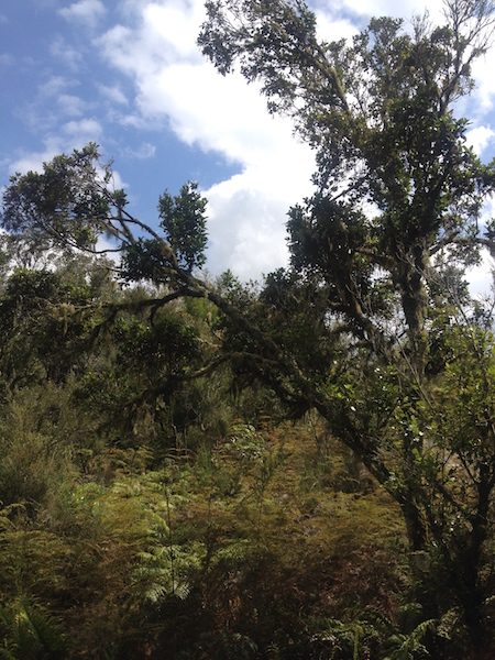 Regenerating forest towards the top of Rainbow Mountain, Waiotapu, NZ.