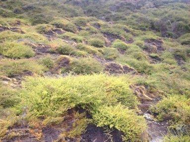 Rainbow Mountain's stunted flora - Rotorua, NZ