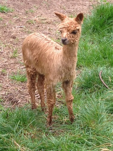 Baby cria alpaca - when being born are said to be 'unpacked'.