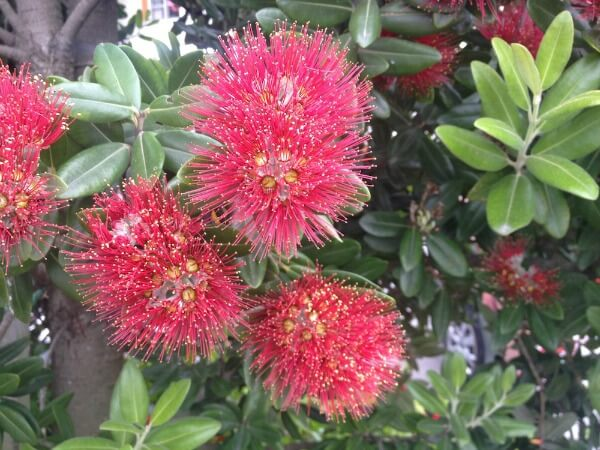 New Zealand's Christmas tree - Pohutukawa