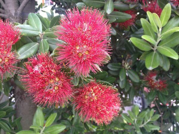 New Zealand's Christmas tree - Pohutukawa