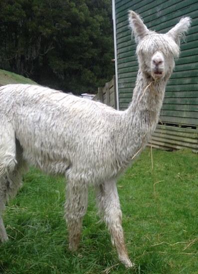 A goofy looking alpaca.