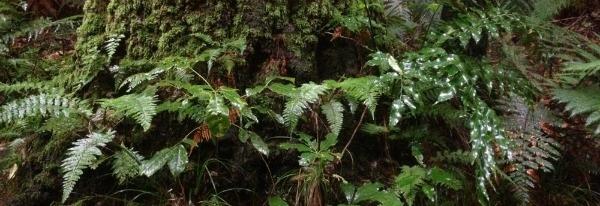 Ferns taken at Rotorua's Redwood forest