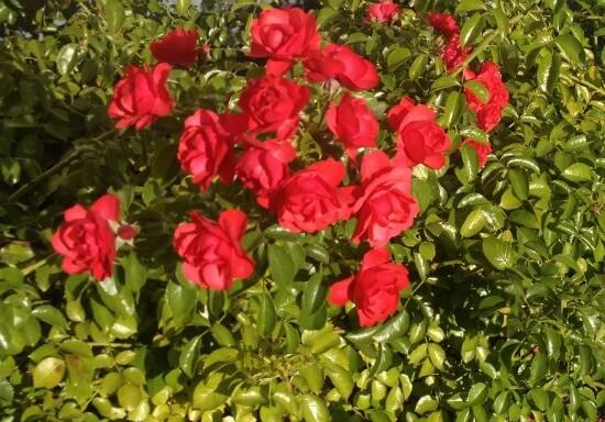 January Roses in Rotorua