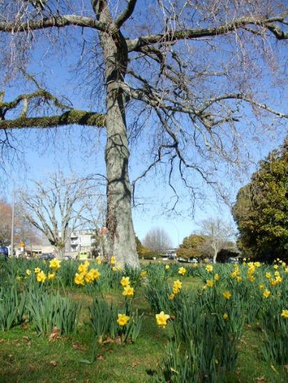 Spring daffodils at Kuirau Park, Rotorua, NZ.
