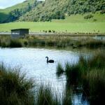 Lake Okareka swans have a lovely home.