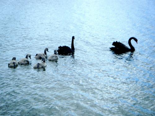 Lake Okareka birdlife - Swan family