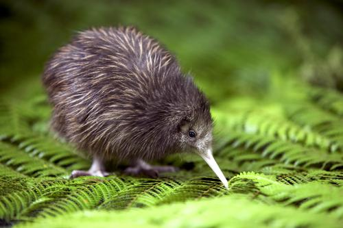 © DRTM - Rainbow Springs, Rotorua, NZ - Baby Kiwi at Kiwi Encounter