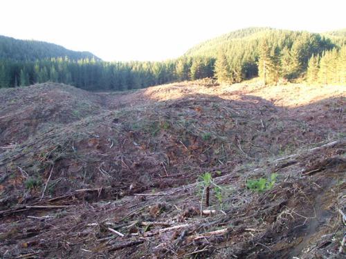 Rotorua Redwoods, NZ - Felling