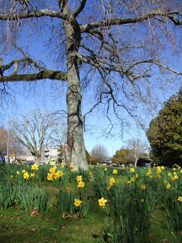 Kuirau Park, Rotorua, spring daffodils