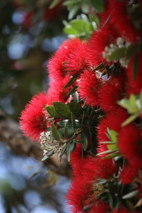 New Zealand Christmas tree - Pohutukawa