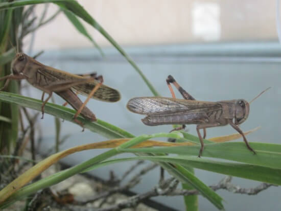 Bibleworld - Live locusts