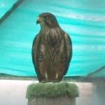 Wingspan Birds of Prey Center, Rotorua, NZ