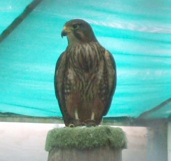 New Zealand falcon Atareta, at Wingspan, Rotorua.