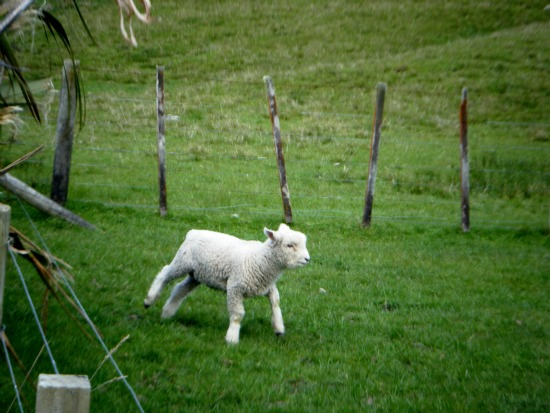 A lamb frolics on farmland at Okareka