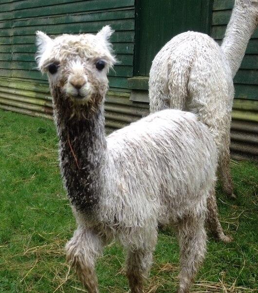 Baby alpaca are called cria.