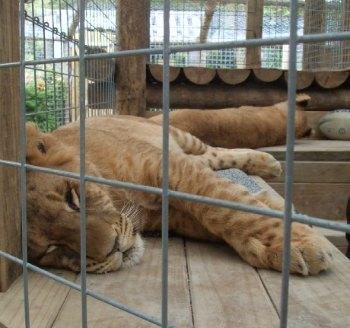 Rotorua lion cubs at Paradise Valley in NZ