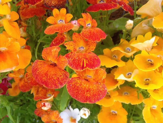 Rotorua garden festival - Pansies