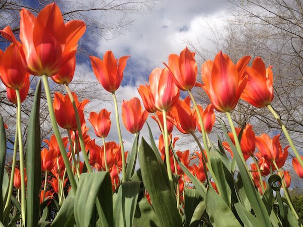 Rotorua tulips are planted every year and widely anticipated.