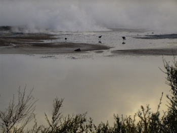 Sulphur Point, Rotorua - birds on the Sulphur Flat