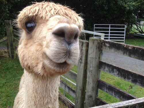 A friendly Surico Alpaca.