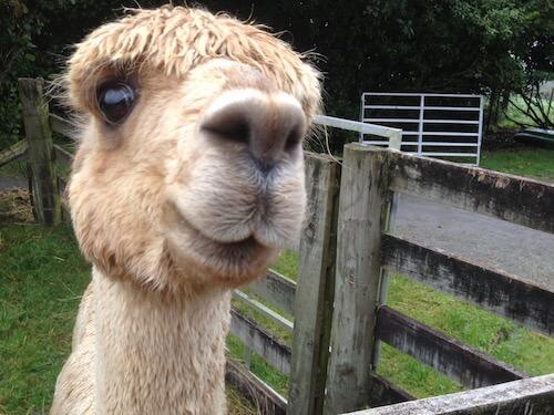 A friendly Surico Alpaca.