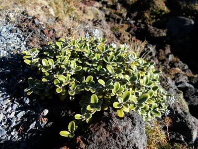 Alpine plant on the Tongariro Crossing, NZ