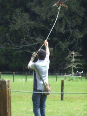 NZ falcon hunting with a lure at Wingspan, Rotorua
