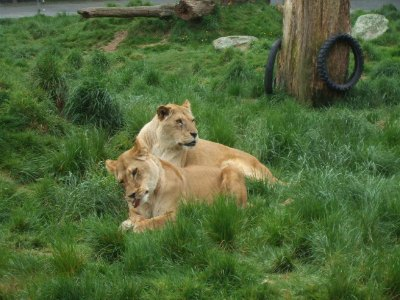 The Rotorua lion park has a pride of African lions