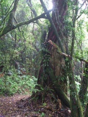 Mount Ngongotaha walks, Rotorua, NZ - Vines criss-cross the tracks